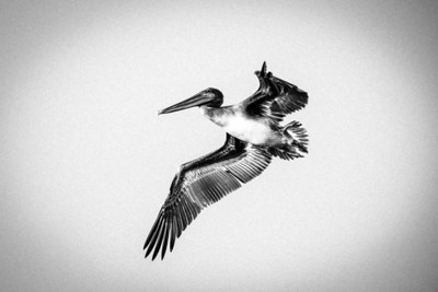 California,pelican B&W