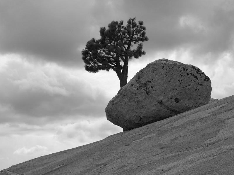 Olmstead Point Tree I