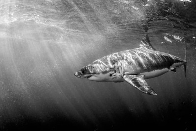 Guadelupe, Great White Shark