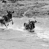 Black and white: Crossing Mara river