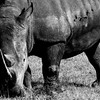 Black and white: Rhino