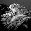 Black and white: Sea worm in the Red Sea