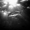 Black and white: Jack fish