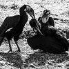 Black and white: Southern ground hornbill