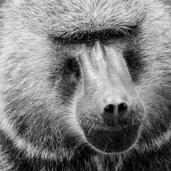 Black and white: Baboon in Nakuru