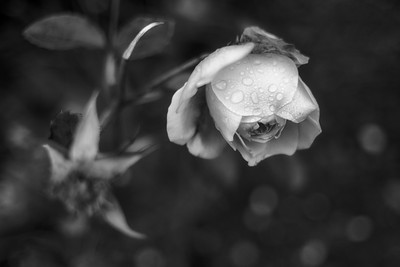 A Late Rose