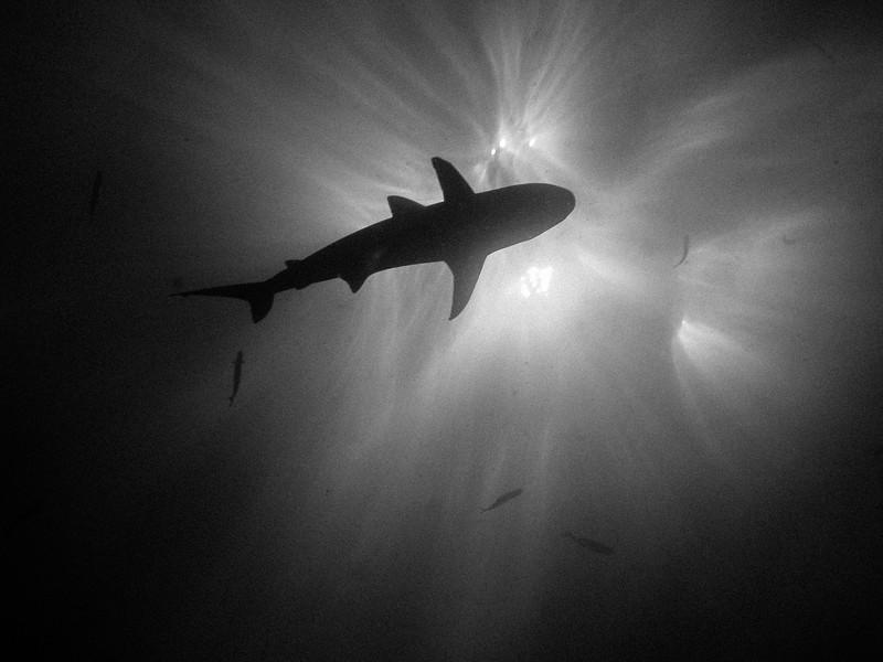 Black and white: shark