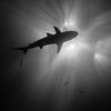Black and white: shark