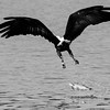 Black and white: Fishing eagle