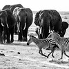 Black and white: zebras with elephants