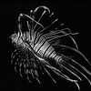 Black and white: Lion fish