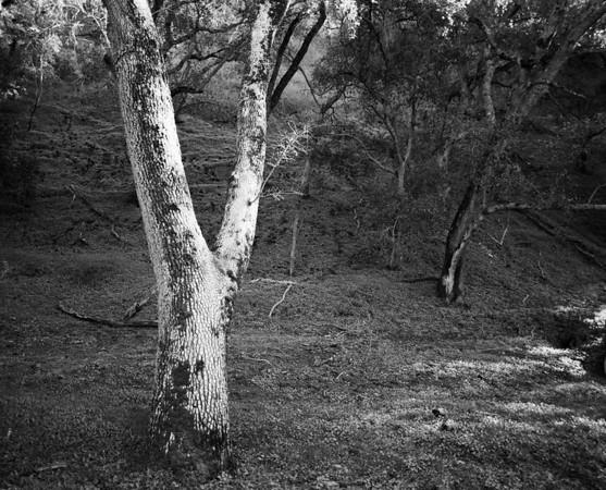 Springtime Oak Tree, Sunol, CA