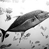 Black and white: Jack fish hunting