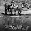 Black and white: Zebras reflections