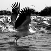Black and white: Pelicans