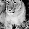 Black and white: Lioness