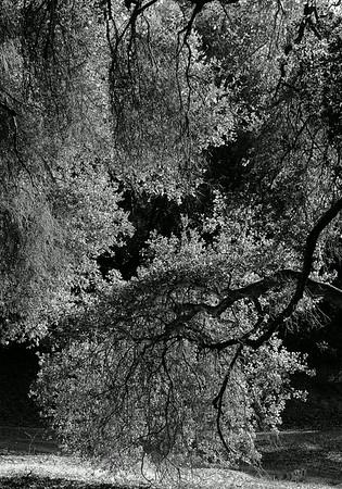 Oak Trees in Thousand Oaks Ca