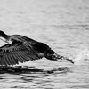 Black and white: Cormorant in Oloiden Lake