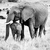 Black and white: Elephants