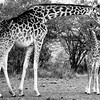 Black and white: Giraffes