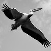 Black and white: Pelican flight
