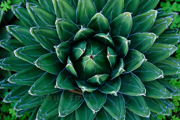 [ITALY.LIGURIA 29036] 'Agave victoria reginae in Hanbury Gardens'.'  	Agave victoria reginae (Mexico) in the Hanbury Botanical Gardens near Ventimiglia. Photo Paul Smit.