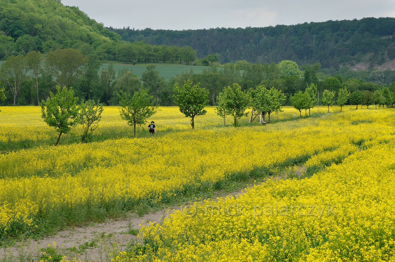Coleseed near Mühlberg.