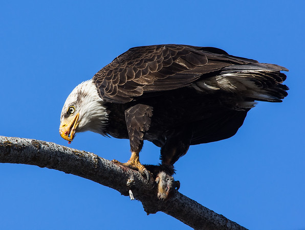Bald eagle and squirrel