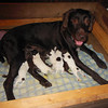 Ayla and her nine puppies at 12 hours old.  This is Ayla's third litter, so she's an experienced mom.