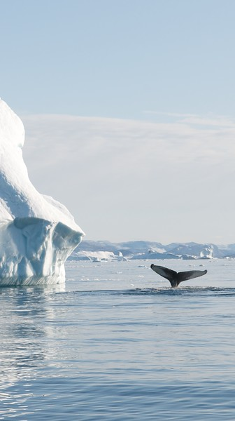 Greenland Whales Ilulissat (31 images)
