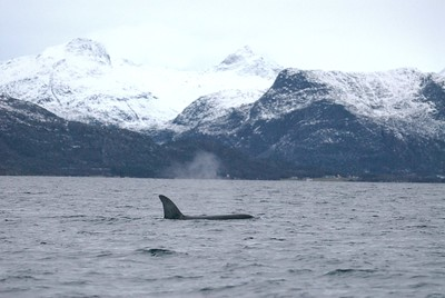 Orca Tysfjord