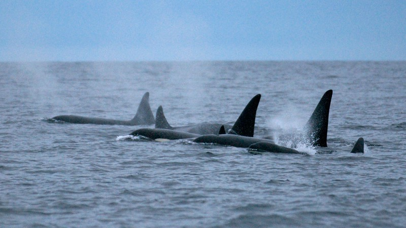 Norway Orcas Extra (15 images)