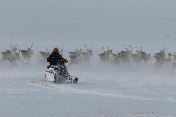 Sweden Sami Reindeer (90 images)