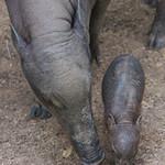 Babirusa Born at Houston Zoo