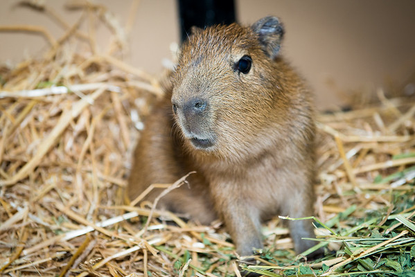 Baby Capybara Just Born at the Houston Zoo