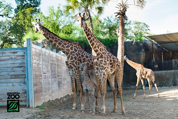 Baby Giraffe - Ghubari