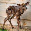 Baby Nyala-7197