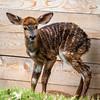Baby Nyala-7281