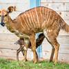 Baby Nyala-7267