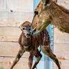 Baby Nyala-7166