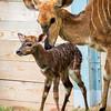 Baby Nyala-7237