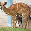 Baby Nyala-7239