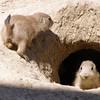 Prairie Dog Pups 2008