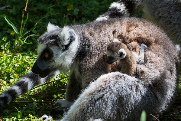 Baby Ring-tailed Lemur Twins