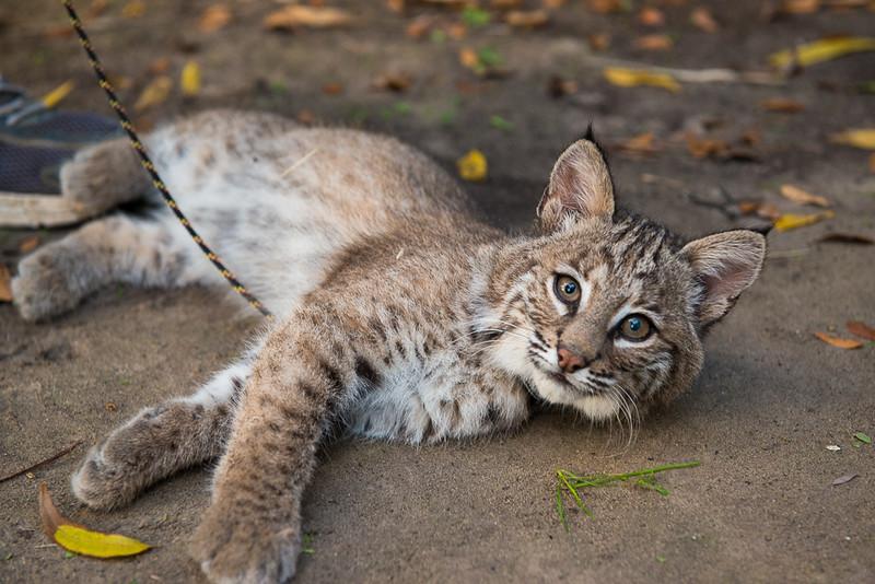 Bobcat cub, Sierra, 12/2013
