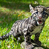 Clouded Leopard Cubs Play Outside
