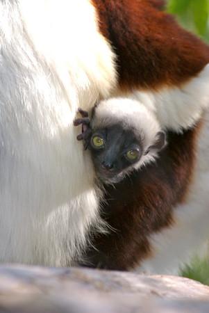 Baby Coquerel's Sifaka Born at Houston Zoo