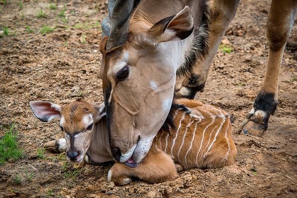 "Baby Giant Eland - ""Hamilton"""