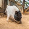 Juliana pig, Winston, comes to Houston Zoo