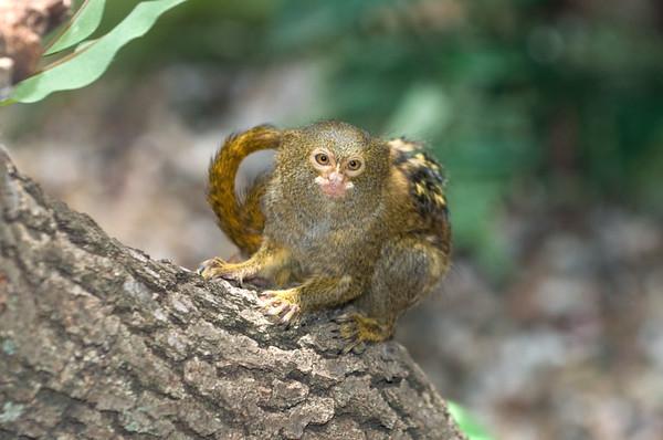 Pygmy Marmoset Baby -  5/2009